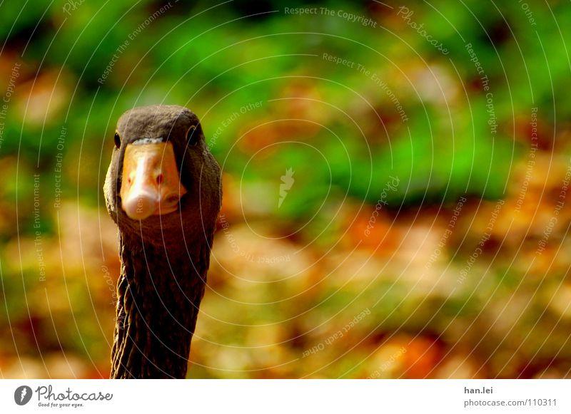Huch?! Vogel Neugier Hals Schnabel Gans erstaunt Gänsebraten