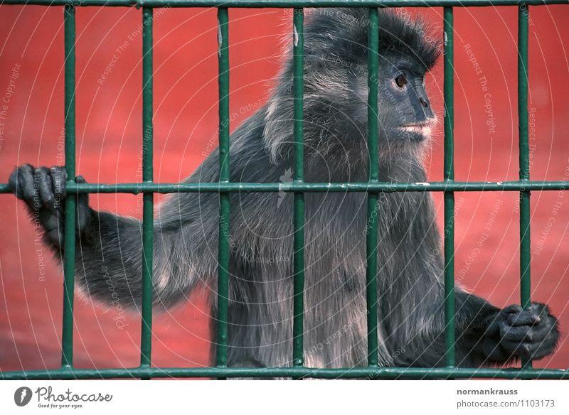 hinter Gittern Tier beobachten niedlich Fell Zoo Langeweile gefangen Affen Mitgefühl Käfig Haftstrafe Äffchen