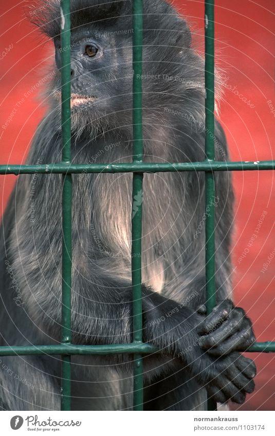 hinter Gittern Tier beobachten Fell Zoo gefangen Affen hocken Mitgefühl Käfig Haftstrafe Äffchen
