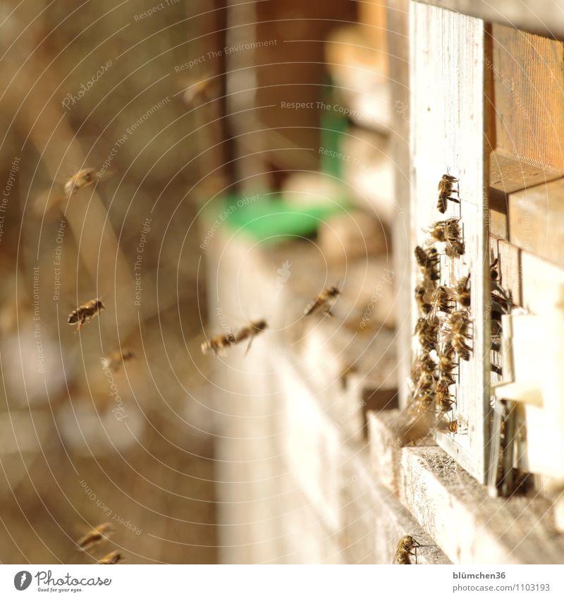 Start in die neue Honig-Saison! Tier Nutztier Wildtier Biene Honigbiene Insekt Bienenstock Schwarm fliegen tragen ästhetisch klein natürlich schön Imkerei