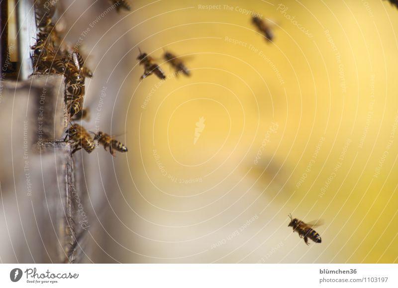 Daheim ist es am schönsten! Tier Nutztier Wildtier Biene Insekt Bienenstock Schwarm fliegen tragen ästhetisch klein natürlich Imkerei Honig Bewegung