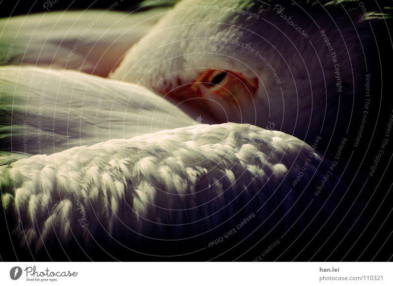 Pelikan Tier Vogel schlafen Müdigkeit heizen Kuscheln genervt Pelikan