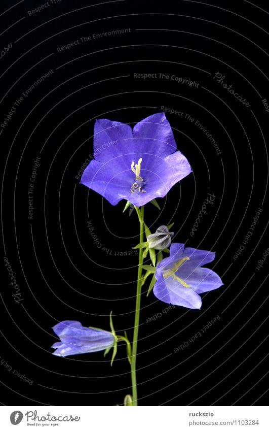 Rundblaettrige Glockenblume, Campanula rotundifolia Natur Pflanze Blüte Wildpflanze Blühend frei blau schwarz Wiesenblume Waldpflanze Round-leaved bellflower