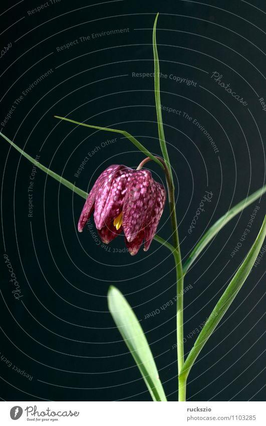 Schachbrettblume; Fritillaria meleagris; Natur Pflanze Blume schwarz Frühling Blüte Hintergrundbild frei Blühend violett Stillleben Schlag Objektfotografie