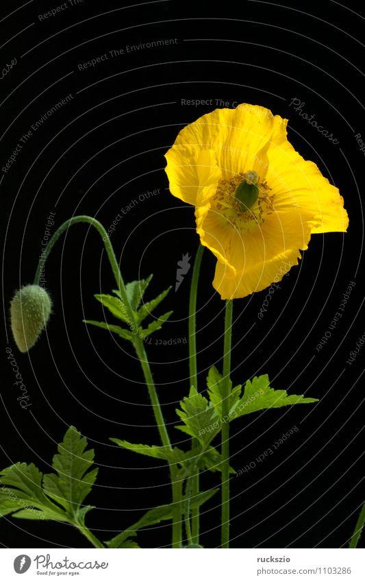Scheinmohn, Meconopsis, cambrica, Natur Pflanze Blume Blüte Blühend frei gelb orange schwarz Mohn Mohngewaechse goldgelbe zitronengelben Halbschatten