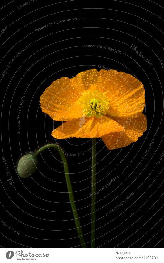 Scheinmohn; Meconopsis cambrica, Natur Pflanze Blume schwarz gelb Blüte Hintergrundbild orange frei Blühend Mohn Stillleben Schlag Objektfotografie neutral