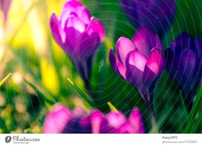 Krokus Ostern Natur Pflanze Frühling Blume Krokusse Montbretie Blühend schön grün violett Farbfoto Außenaufnahme Tag