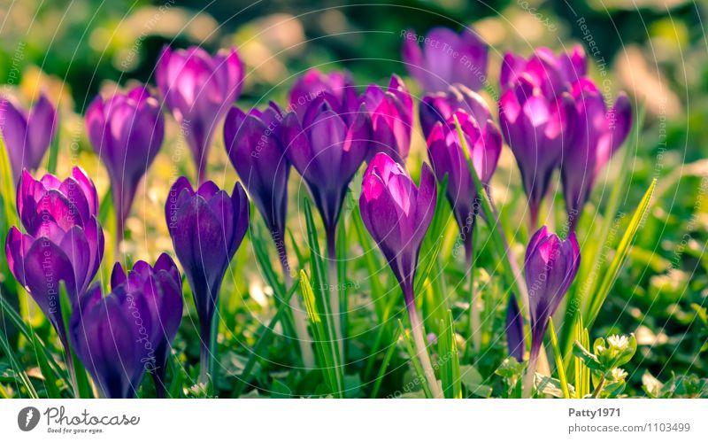 Krokusse Ostern Natur Pflanze Frühling Blume Montbretie Blühend schön grün violett Farbfoto Außenaufnahme Tag