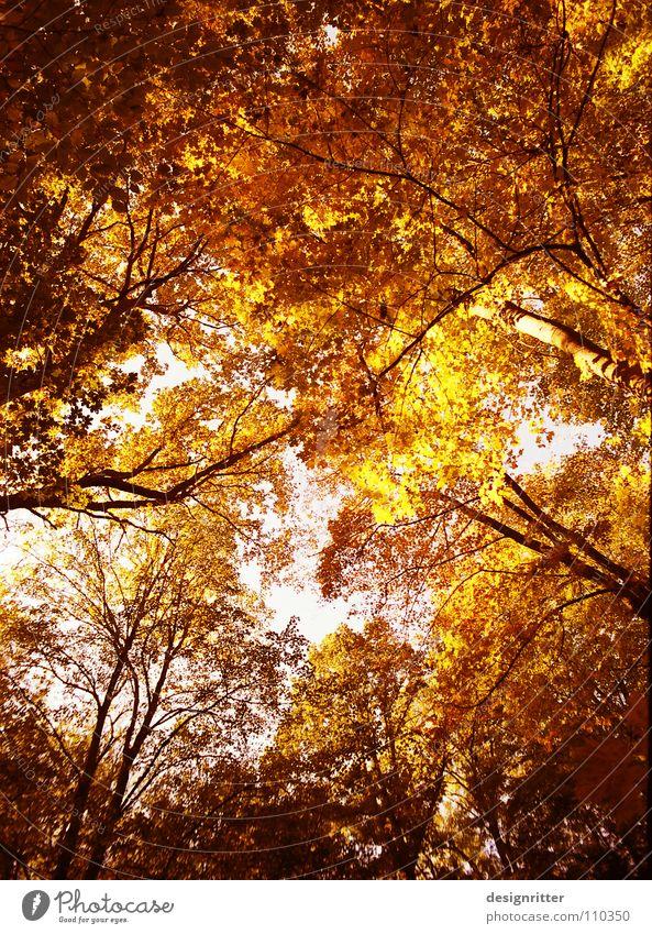 Roter Oktober Baum rot Blatt gelb Farbe Wald Herbst orange gold fallen Baumkrone Holzmehl