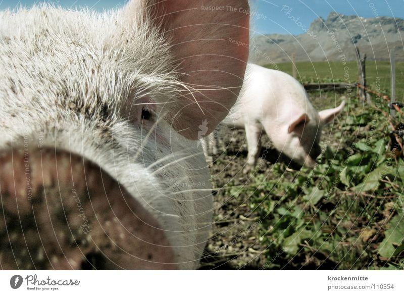 Schweine nicht im Weltall Tier Glück dreckig Ohr Hausschwein Bauernhof Säugetier Fressen Schwein Schnauze Barthaare Sau Ferkel Stall Glücksbringer Grunzen
