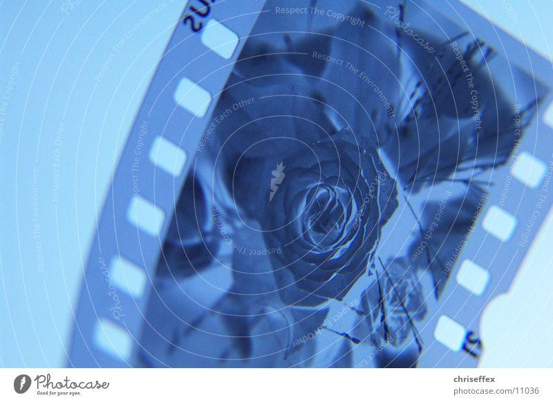 dia'close-up Dia Blume Rose Nahaufnahme Makroaufnahme negativ Fototechnik blau Filmindustrie durchlicht