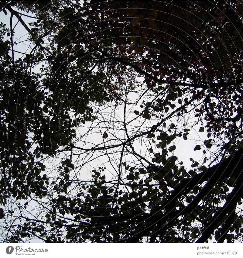 Baumkronen IV Herbst Wald Blatt Winter schwarz weiß unten Wolken Himmel Ast Zweig Natur blau Schatten hoch fallen Wind