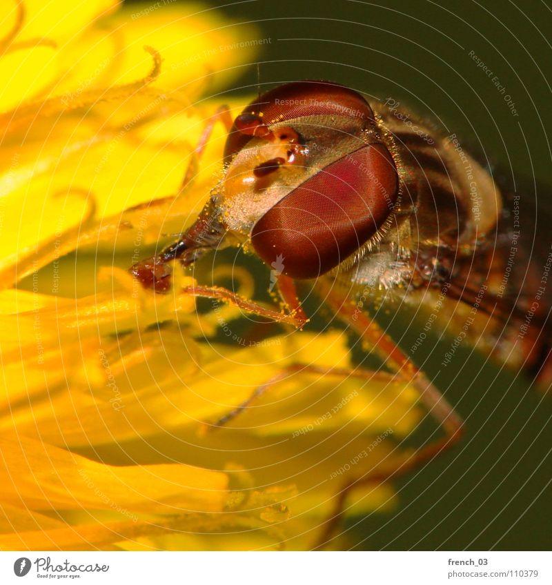 Dann saug mal Schwebfliege Facettenauge Blume Schweben Beine gelb rot Rüssel schwarz Löwenzahn groß klein Sommer Zweiflügler Insekt saugen Staubfäden