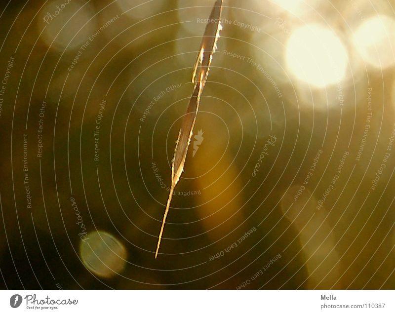 Herbstsonnengras die Zweite Gras Sonne Beleuchtung Licht Physik Ähren Wegrand Vertrauen Lichterscheinung Schönes Wetter Wärme herbstlich Spaziergang