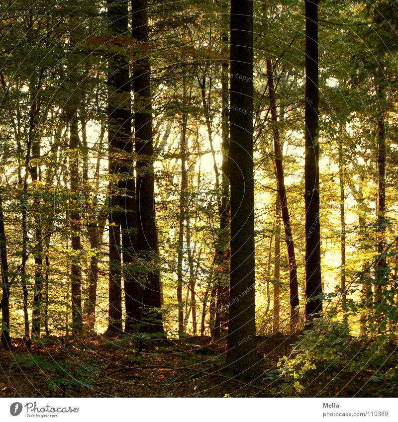 Lauter Bäume Wald Baum Herbst Blatt grün gelb braun Blätterdach Licht Märchen Böser Wolf Zwerg Gnom Dieb Zauberwald Europa herbstlich Schönes Wetter