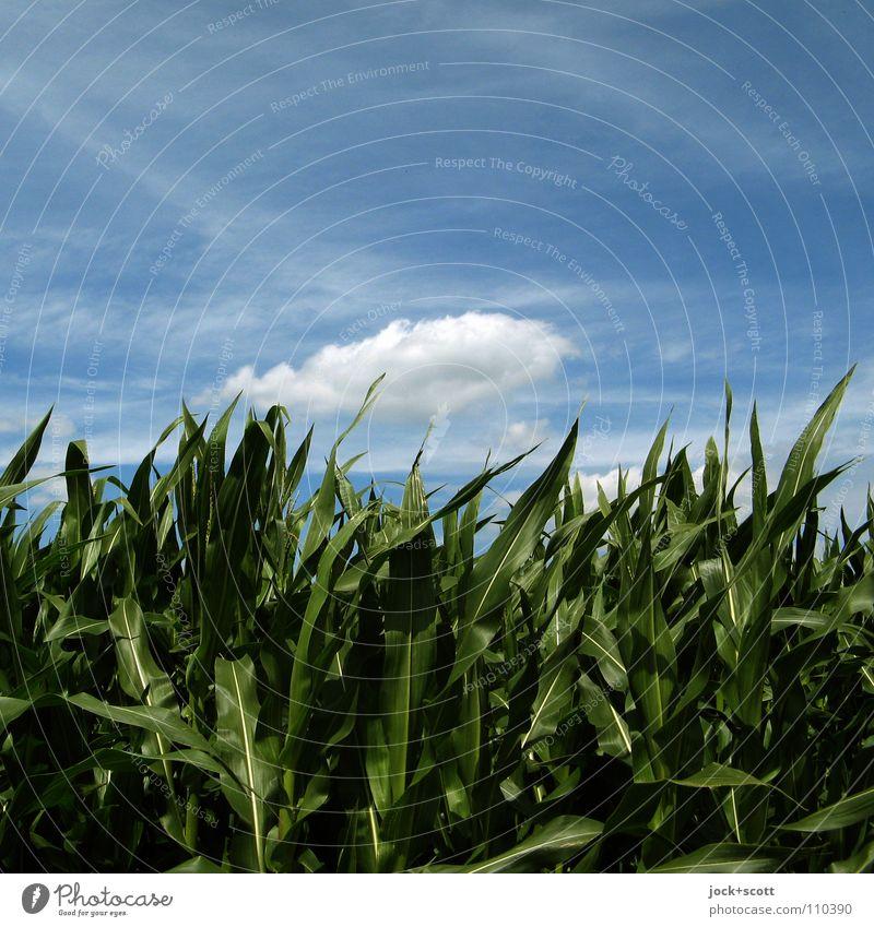 Fly Me Away Natur Pflanze Wolken Sommer Schönes Wetter Wind Nutzpflanze Feld Hessen fliegen Wachstum authentisch frisch natürlich positiv Wärme weich blau grün