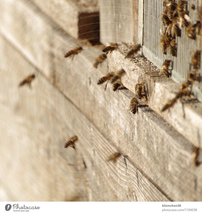 Sie sind das Volk! Tier Nutztier Wildtier Biene Honigbiene Insekt Schwarm Bienenstock ästhetisch klein natürlich feminin Teamwork Arbeit & Erwerbstätigkeit