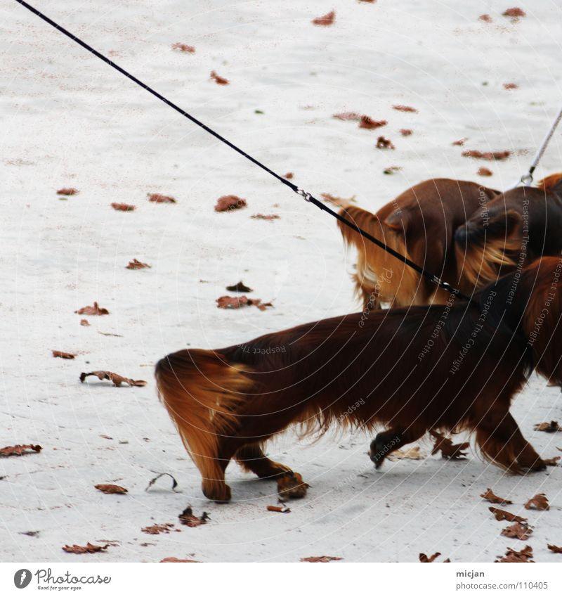 Alles für den Dackel - Alles für den Club weiß Blatt Tier Schnee Herbst Hund Sand Eis braun gehen laufen Seil 3 Platz Spaziergang Bodenbelag