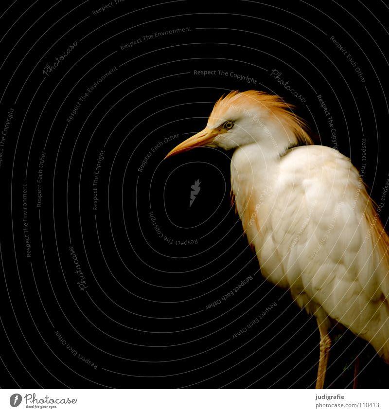 Stolz Reiher Kuhreiher Vogel Tier Feder Schnabel schwarz Farbe Kontrast