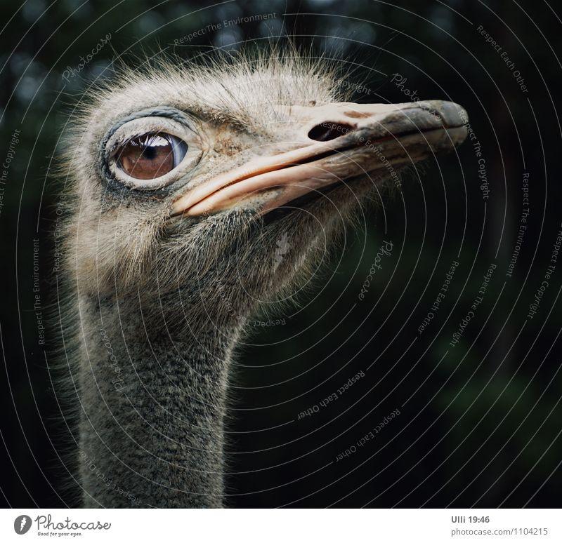Ein Straußenvogel namens ´maspi`................ Ausflug Sommer Natur Tier Menschenleer grauhaarig kurzhaarig Behaarung Vogel Tiergesicht 1 beobachten Blick