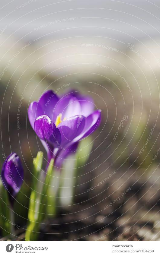 frühlingswärme Umwelt Natur Pflanze Erde Frühling Schönes Wetter Grünpflanze Wildpflanze Krokusse dünn authentisch einfach frisch klein natürlich trocken Wärme