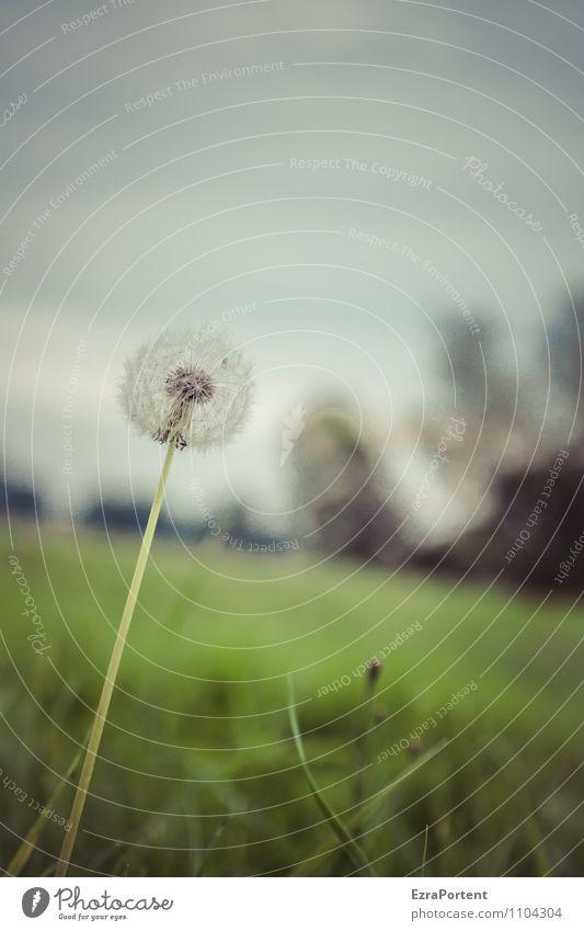 ppfff Umwelt Natur Landschaft Pflanze Himmel Wolken Sommer Blume Gras Blüte Wiese dunkel natürlich grau grün Vergänglichkeit Neigung Löwenzahn verblüht Samen