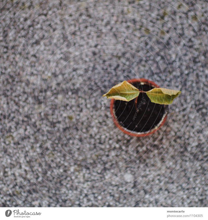 wetter | sehr trocken Umwelt Natur Pflanze Wetter Dürre Baum Blatt Grünpflanze Wildpflanze Buche Buchengewächs Buchenblatt Blumentopf Stein dünn authentisch