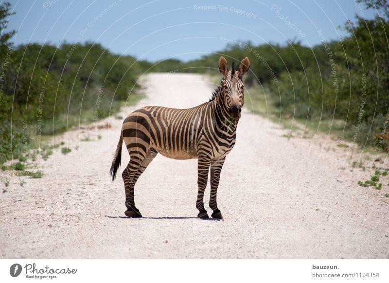 ich bin dann mal ein zebrastreifen. Ferien & Urlaub & Reisen Tourismus Ausflug Abenteuer Ferne Freiheit Sightseeing Safari Expedition Sommer Umwelt Natur