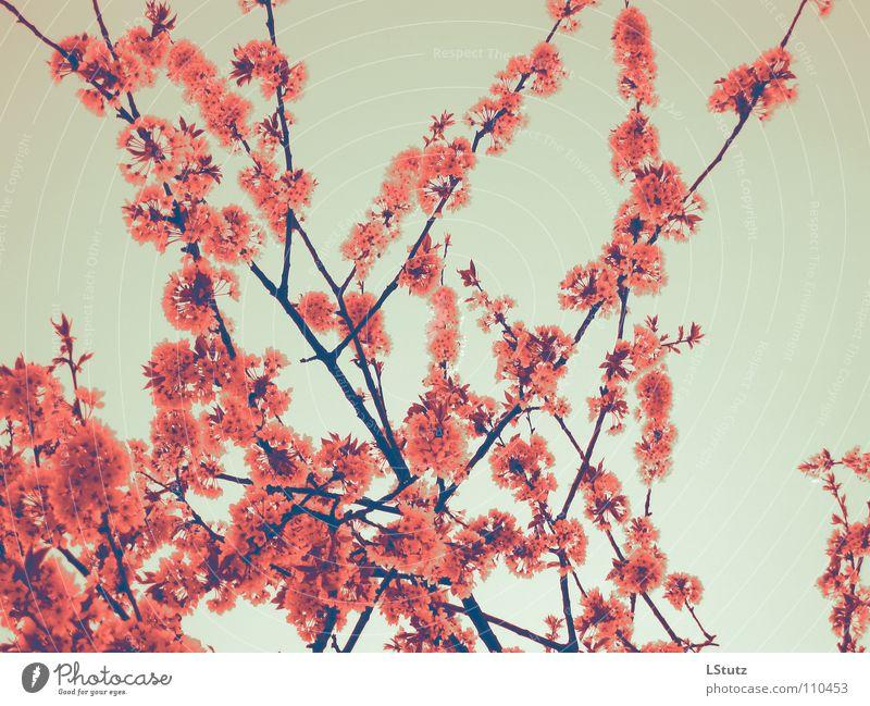 cherry blossom girl Natur Baum rot Frühling Blüte rosa Ast Jahreszeiten Kirsche Geäst Kirschblüten Kirschbaum fruchtbar