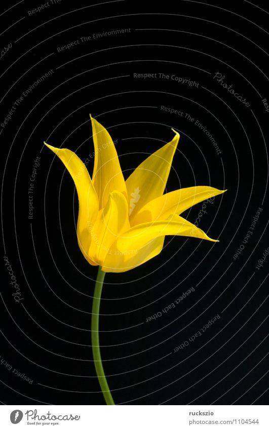 lilienfoermige Tulpe Natur Pflanze Blume schwarz gelb Frühling Blüte Hintergrundbild Garten frei Blühend Stillleben Schlag Objektfotografie Blütenpflanze