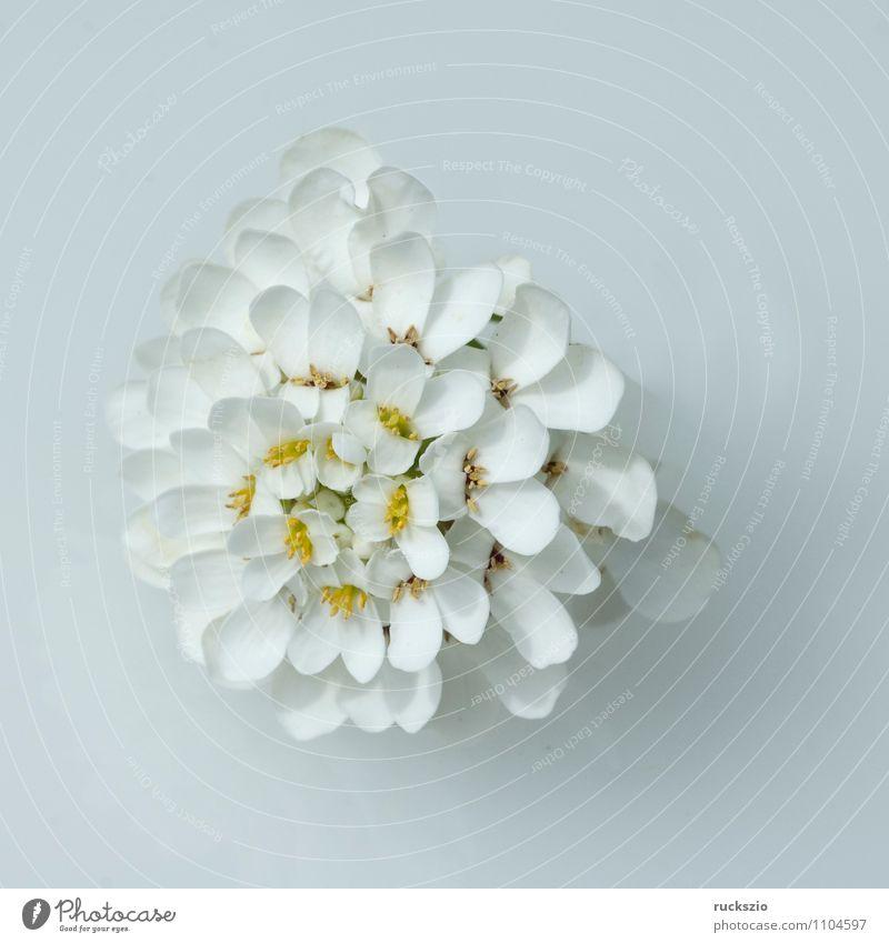 Schleifenblume Alternativmedizin Natur Pflanze Blume Blüte Garten frei weiß Bittere Schleifenblumen Iberis amara krautig weissbluehende weisse Blueten