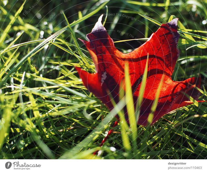 Rot-grüner Oktober Baum rot Blatt Wiese Herbst Gras fallen Ende Vergangenheit vergangen Ahorn mögen Holzmehl