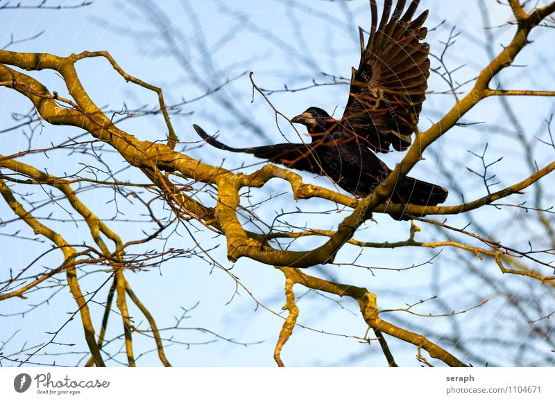Nistmaterial Tier Vogel Flügel Feder Rabenvögel Krähe Natur Baum Ast Zweig Himmelszelt aussruhen fliegen Umweltschutz Baumkrone Wald Gebäude Frühling
