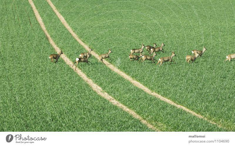 Rehe laufen über ein Feld, eine Fahrspur Umwelt Natur Landschaft Pflanze Tier Wiese Wildtier Tiergruppe Herde grün Wege & Pfade Wildwechsel Fluchtweg
