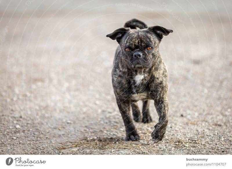 Kleiner Teufel Tier Haustier Hund 1 gehen klein Gelassenheit beweglich gefährlich Stolz Augen Fellzeichnung Haushund Kies Mischling Mops Ohren Säugetier