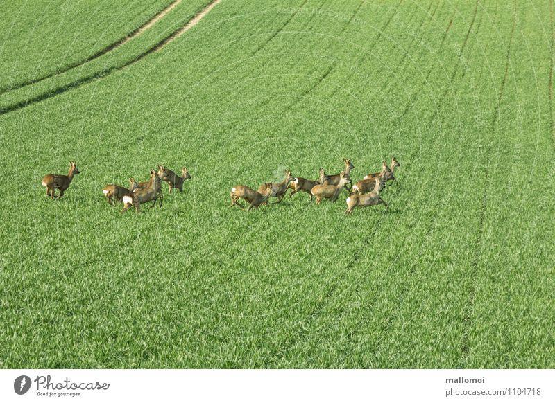 Querulanten II Natur grün Umwelt Feld Angst Wildtier laufen gefährlich Tiergruppe Landwirtschaft Todesangst Zusammenhalt Stress Jagd nachhaltig Flucht