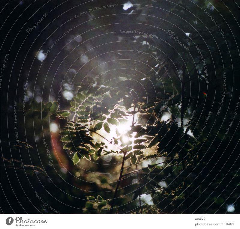 Abendstille Sonnenuntergang Abendsonne ruhig Wald Blatt Botanik Gegenlicht Lichtspiel Licht & Schatten erleuchten Sommer Sommerabend Makroaufnahme Nahaufnahme