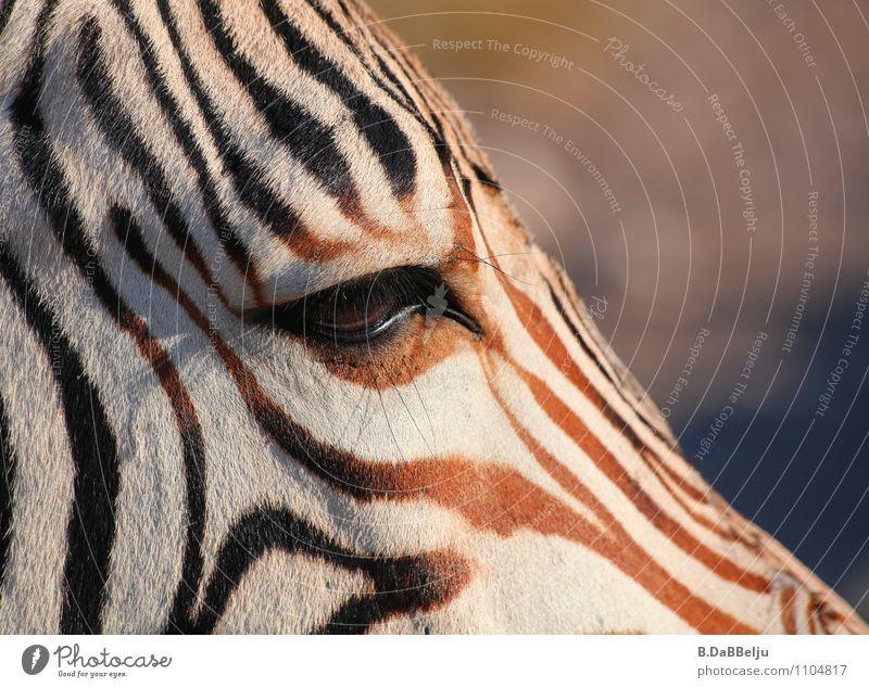 Im Auge des Zebras exotisch Ferien & Urlaub & Reisen Tourismus Abenteuer Ferne Freiheit Safari Expedition Natur Tier Wildtier 1 braun weiß Afrika ignorieren