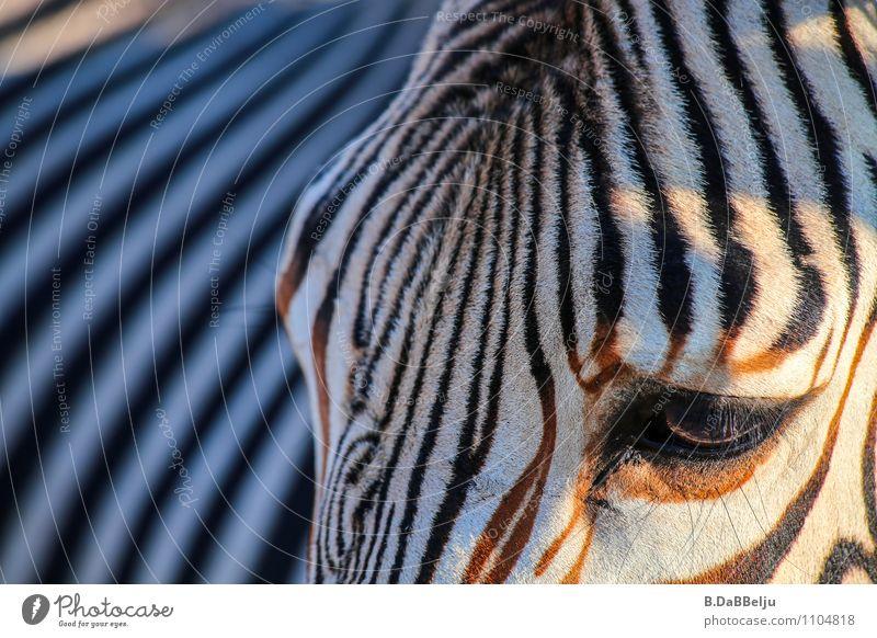 Zebra-Profil exotisch Ferien & Urlaub & Reisen Tourismus Abenteuer Ferne Freiheit Safari Expedition Sommer Natur Tier Wildtier 1 Streifen entdecken