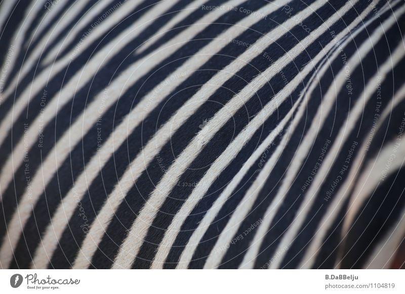 Gestreift... exotisch Ferien & Urlaub & Reisen Abenteuer Freiheit Safari Expedition Tier Wildtier Fell Zebra 1 ästhetisch wild schwarz weiß schön Neugier