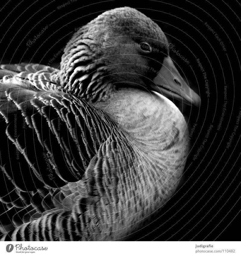 Gans ruhig Graugans schlafen Vogel schwarz weiß Feder Schnabel dunkel Wildgans Trauer Schwarzweißfoto Erholung Natur feldgans wasservogel Traurigkeit Flügel