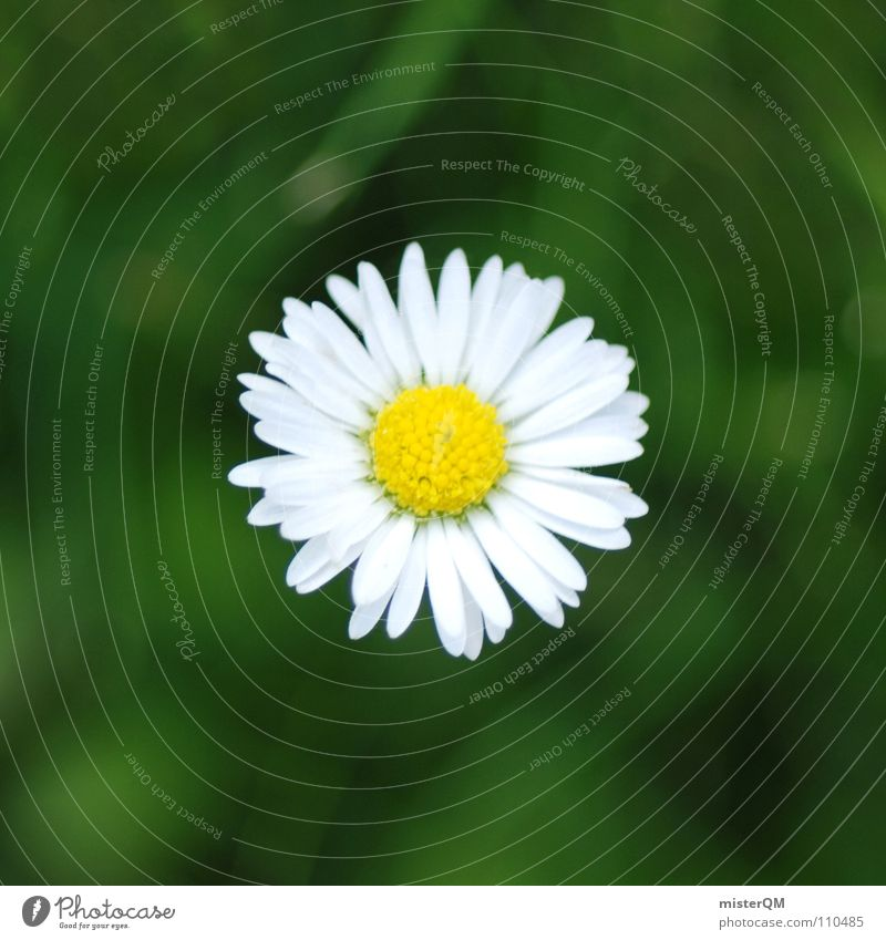 lonely daisy Natur weiß grün Pflanze Sommer Blume Freude ruhig gelb Erholung Landschaft klein Blüte Wetter Gesundheit Hintergrundbild
