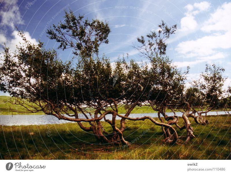 Wetterfest Baum Pflanze Berge u. Gebirge Holz Landschaft Wind Botanik durcheinander Norwegen Skandinavien Hochebene Nordeuropa verkrüppelt Hardanger