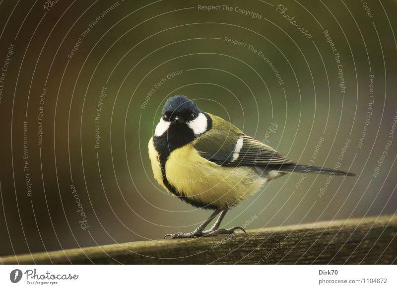 Da ist die Meise! Natur grün Tier schwarz gelb Frühling grau Holz klein Garten braun Vogel Wildtier frei sitzen beobachten