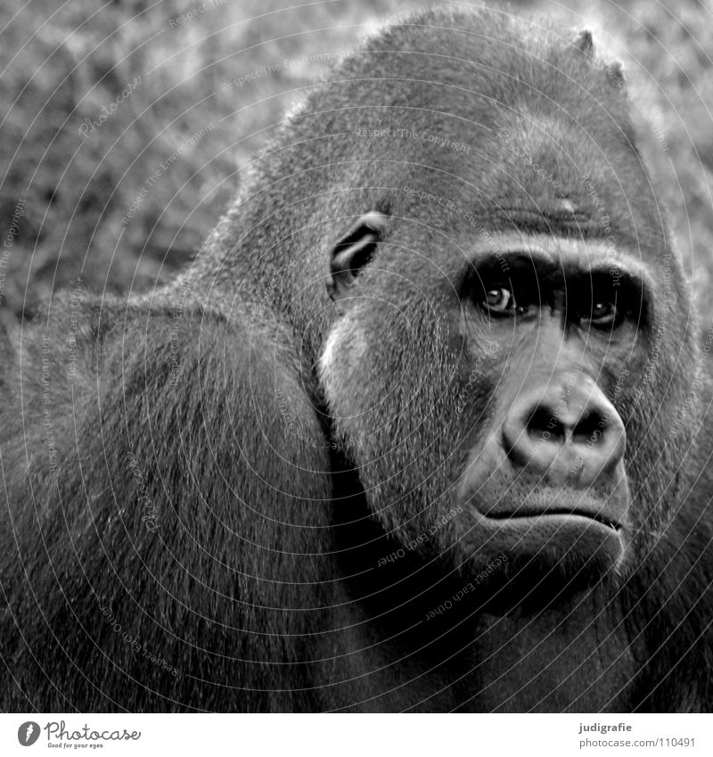 Gorilla Affen maskulin Tier Säugetier Menschenaffen gefangen schwarz weiß Macho Trauer Fell Zoo Schwarzweißfoto Macht hominidae Blick Ärger Traurigkeit