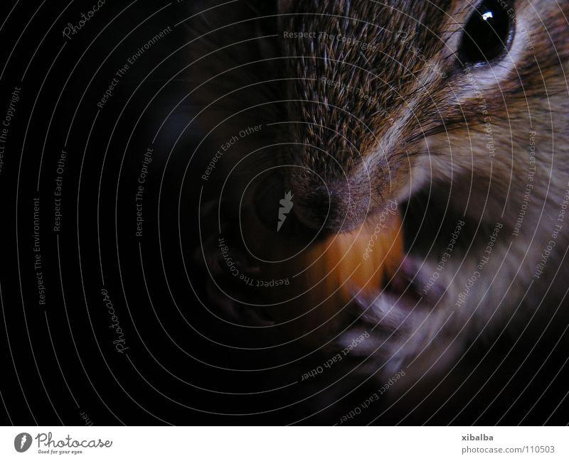 Streifenhörnchen Tier braun Lebensmittel sitzen Tiergesicht Fell Fressen Pfote Haustier kuschlig füttern Nuss Haselnuss Streifenhörnchen