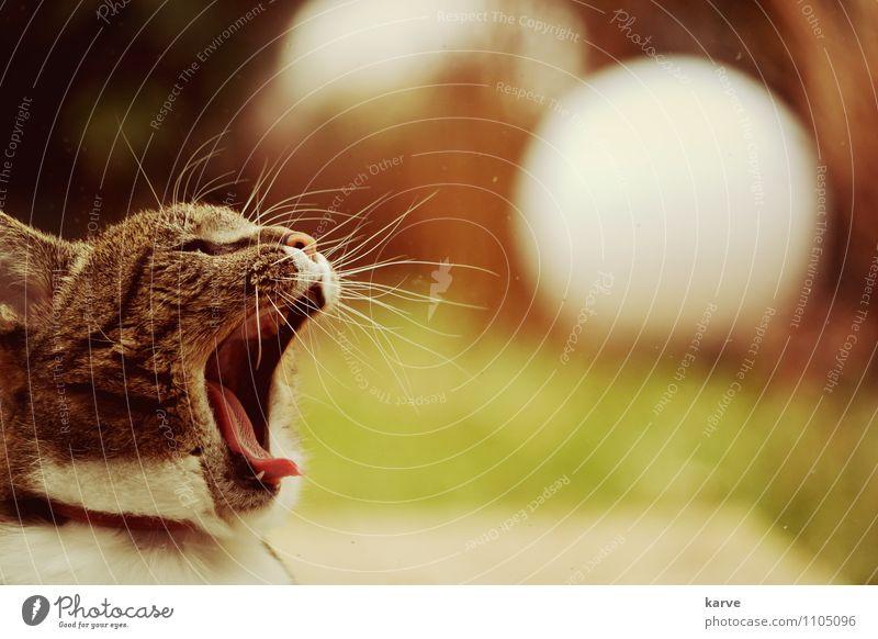 Löwenmäulchen Katze sitzen gähnen Müdigkeit Langeweile Trägheit ruhig heimwärts Farbfoto Außenaufnahme Textfreiraum rechts Abend Starke Tiefenschärfe