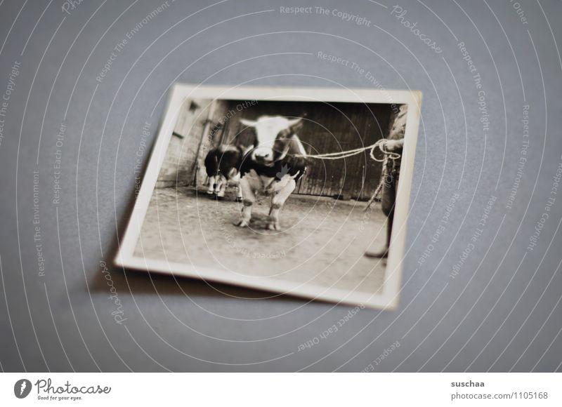 bulle Fotografie analog alt Erinnerung Familienalbum Schwarzweißfoto Ochse Rind Bulle Tierzucht Landwirtschaft