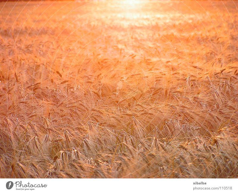 goldenes Kornfeld Farbfoto mehrfarbig Außenaufnahme Menschenleer Textfreiraum Mitte Dämmerung Licht Reflexion & Spiegelung Schwache Tiefenschärfe Umwelt Natur