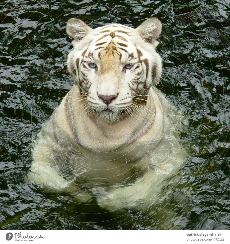 Swimming Tiger hidden Dragon Bengal Tiger Indien Kraft Katze weiß Wachsamkeit Zoo Singapore füttern Säugetier Asien Weisser Tiger Indischer Tiger Südasien